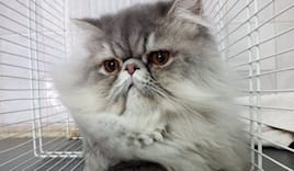 Toelettatura+lavag gatti