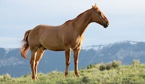 Cavallo x2 regalo