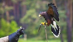 Esperienza di falconeria
