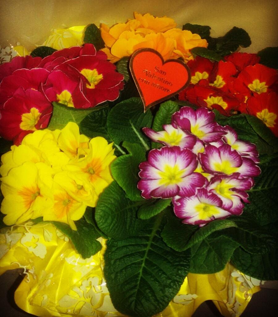 confezione di 5 primule disponibili in vari colori, perfette per San Valentino