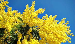 -20% sulle mimose