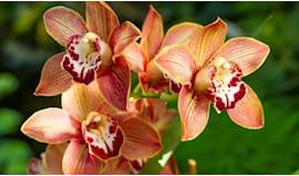 Rami di orchidee