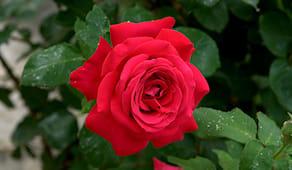 Rose grandi