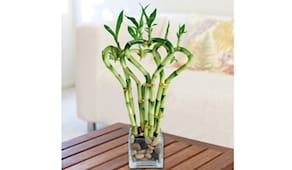 Canne di bambù
