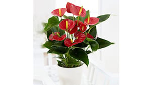 Anthurium vaso 30 cm